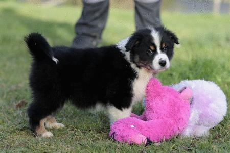 Achat : Splendide chiot berger australien  (Autres races d'animaux) - Autres races d'animaux neuf et d'occasion - Achat et vente